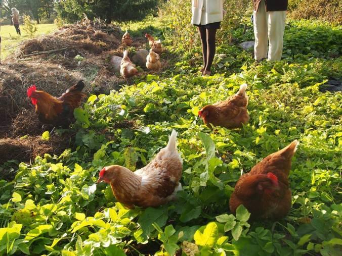 Syötävä puisto kanat