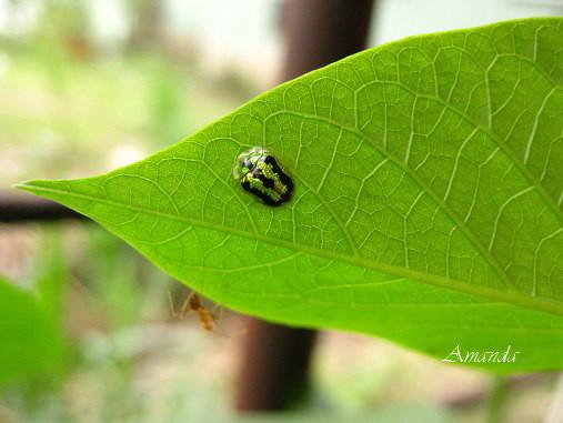 地瓜葉上-甘藷龜金花蟲-.jpg