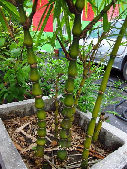葫蘆竹-綠色.jpg
