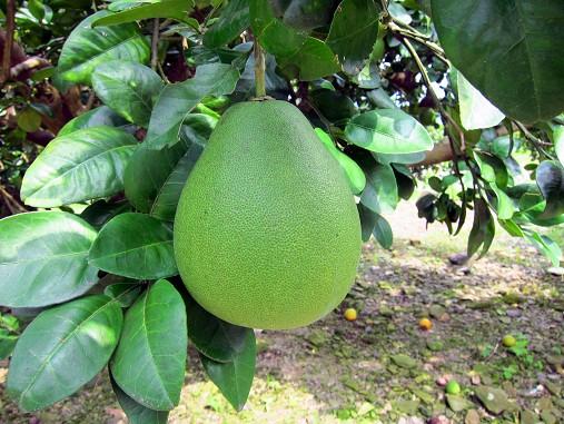 大進有機農場-柚子