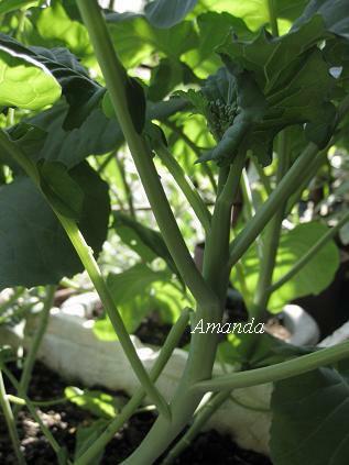 芥藍菜結花苞
