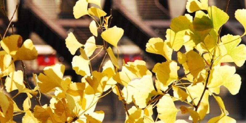 東京採訪... Day 6 飄落著銀杏的天空
