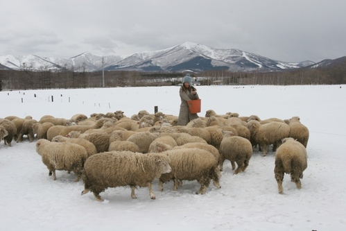 人老了就會回憶….北海道雪原裡的綿羊牧場
