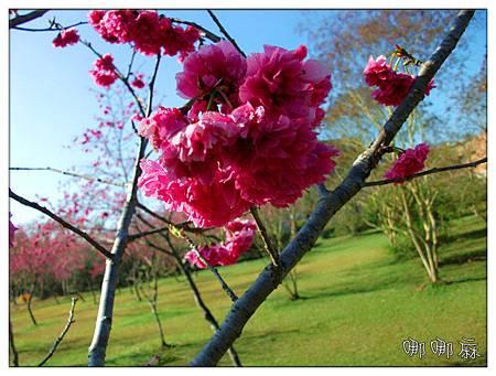 櫻花和草地