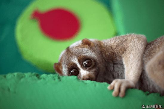 大眼深藏致命吸引力 地球唯一有毒靈長類懶猴