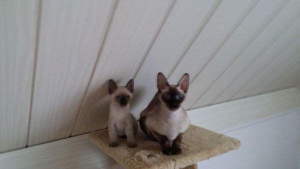 Geimpfte Devon Rex Siam Katzen Baby Kitten Kätzchen