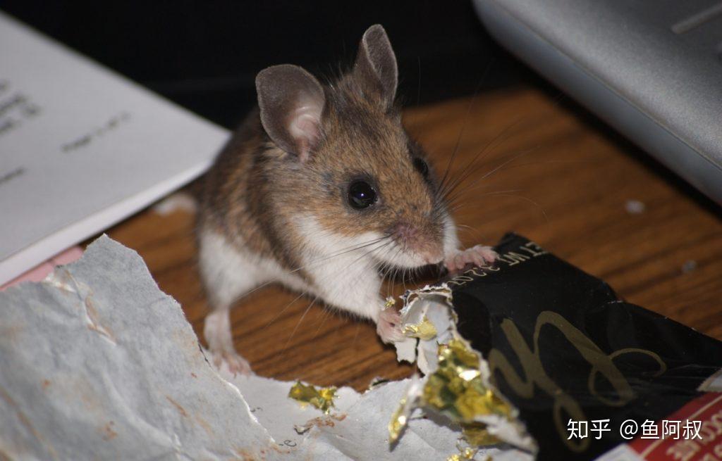 家里有老鼠怎么辦?能除根嗎?快被家里的老鼠煩死了? - 知乎
