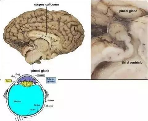 松果體與人們口中的第三只眼有什么聯系? - 知乎