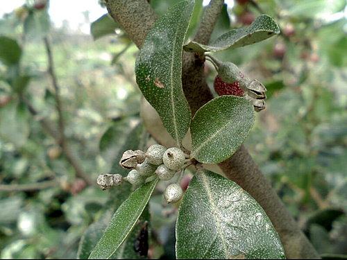 胡頹子科-椬梧種子盆栽與臺灣胡頹子 @水晶蘭的種子花草格 - nidBox親子盒子