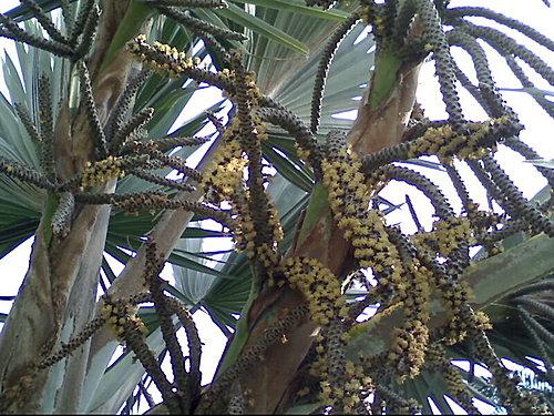 棕櫚科-藍棕櫚 @水晶蘭的種子花草格 - nidBox親子盒子