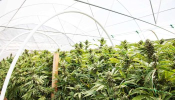 Cannabis Market Blossoms Despite Persistent Legal Roadblocks