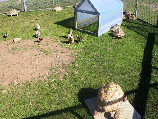 Hounslow Urban Farm Tortoises