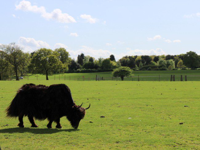 Yaks at Whipsnade Zoo