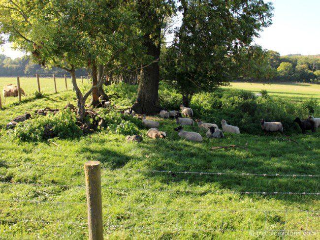 Free range sheep at Bocketts Farm Park Surrey