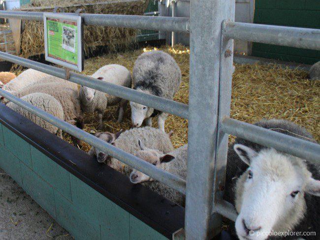 Sheep at Bocketts Farm Park Surrey