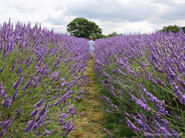 Family Travel Mayfield Lavender Fields, Surrey