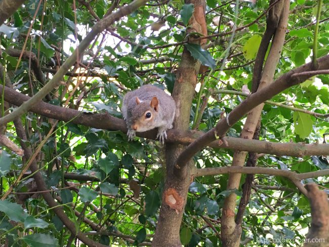 Squirrel in Kensington Gardens, London