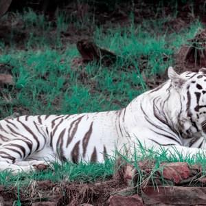 White Tiger Yawning