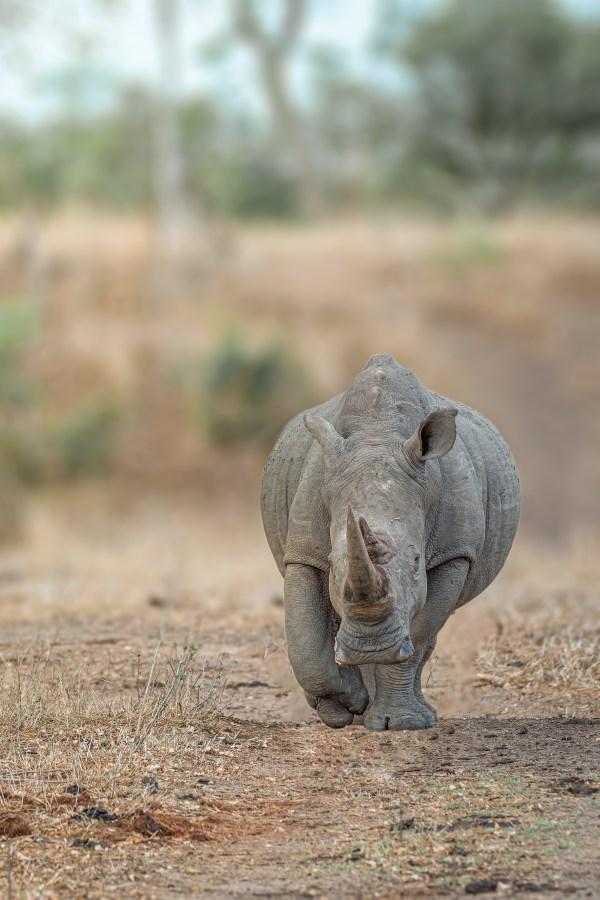 White Rhino walking