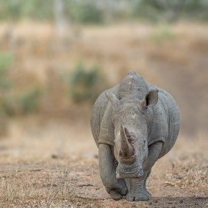 White Rhino walking
