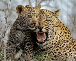 Lookout female and cub snarling_ copy