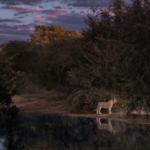lion cub along river side