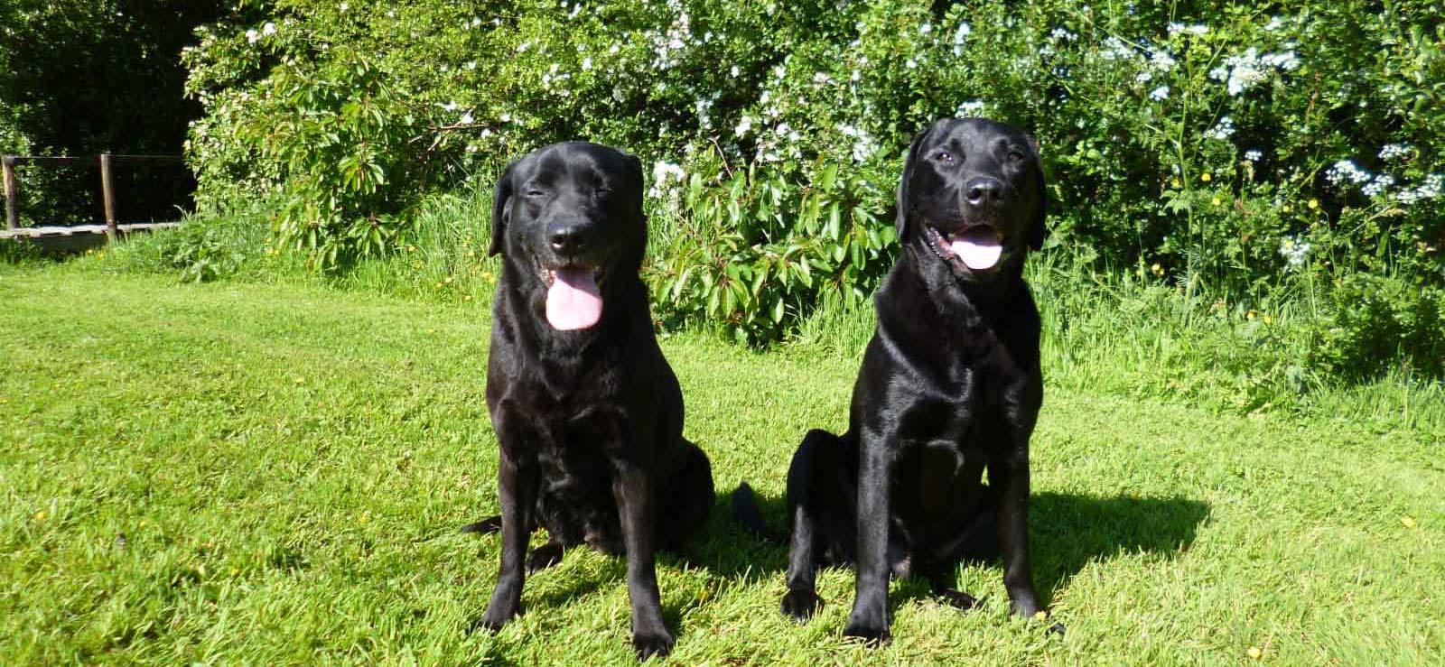 Gundog training two beautiful labradors