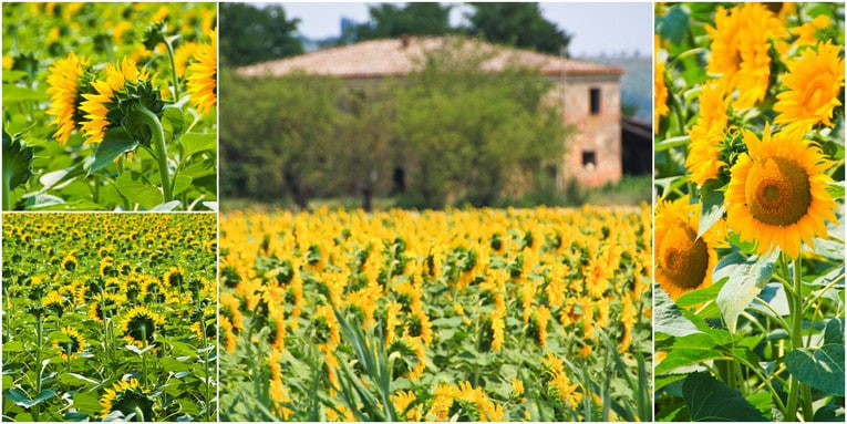 1a - Montepluciano Sunflowers