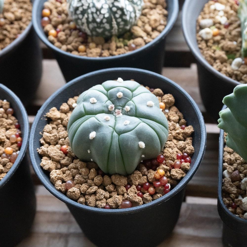 "Astrophytum Asterias Fukuryu ""Five Ribbed Star"""