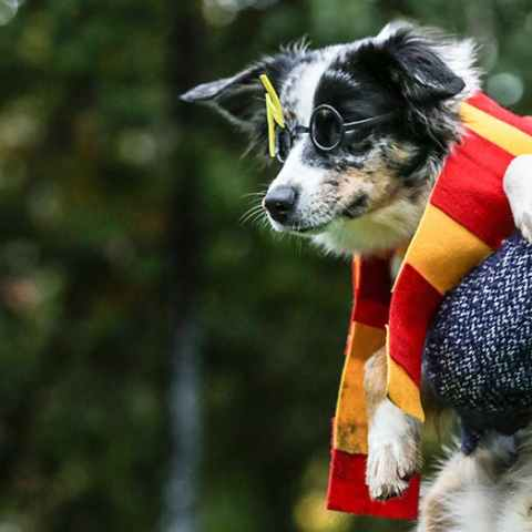10 Effortless Halloween Costumes for Dogs| Halloween Costumes, DIY Halloween Costumes, Halloween Costumes for Dogs, Holiday, Holiday DIYs, Halloween Projects, Projects for Hallowee, Pet Costumes. #Dogs #DogCostumes #HalloweenCostumes #HalloweenCostumesforDogs