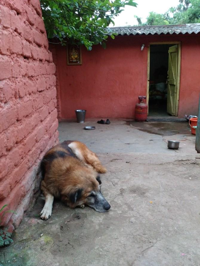 DogAtAshramPuneIndia