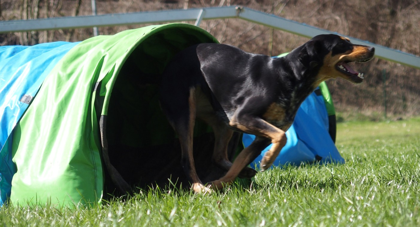 Maggie @ Agility Competition