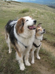 My gorgeous dogs on Cleeve Hill in April