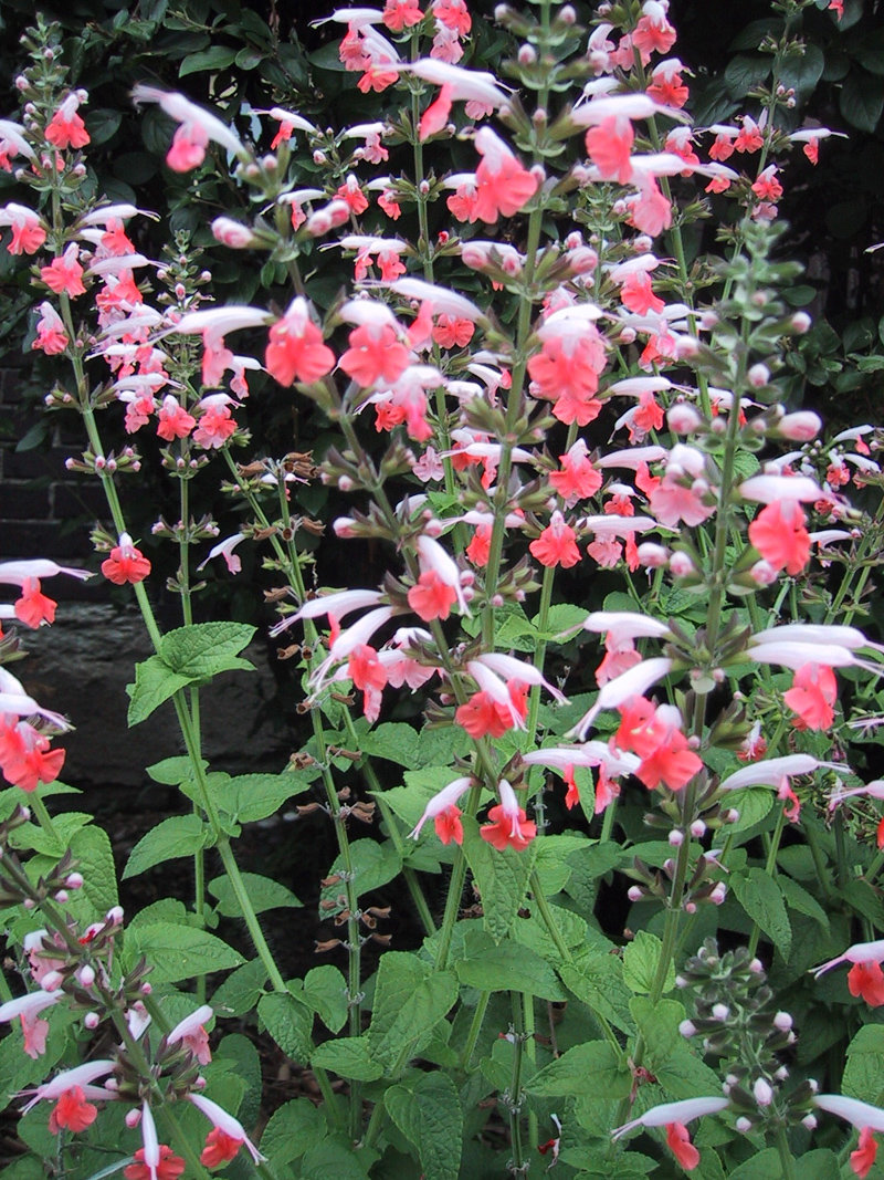Cherry blossom salvia refers to the coral nymph that has white and reddish-pink flowers