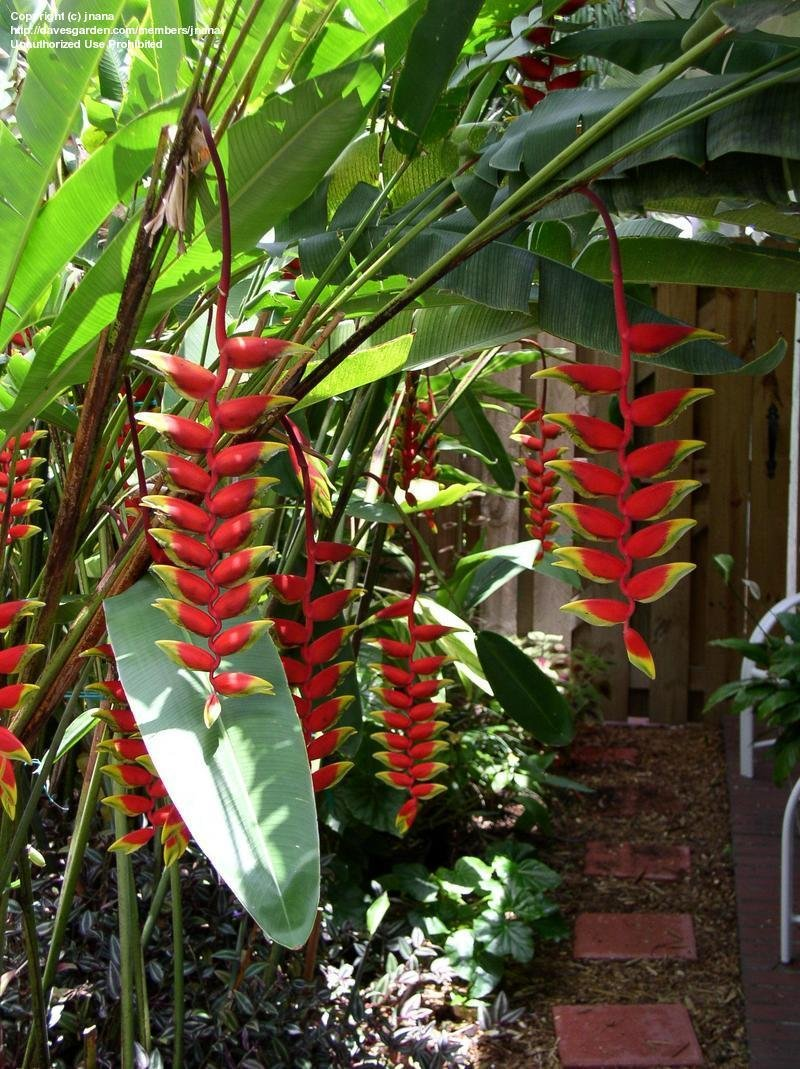 PlantFiles Pictures Crab Claws Hanging Lobster Claw Heliconia Rostrata By Jnana