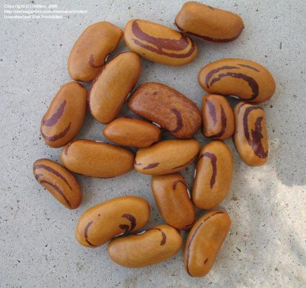 pdf phaseolus bean improvement in tanzania 19592005 - 800×753