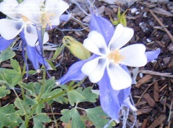 PlantFiles Pictures: Aquilegia Species, Colorado Blue ...