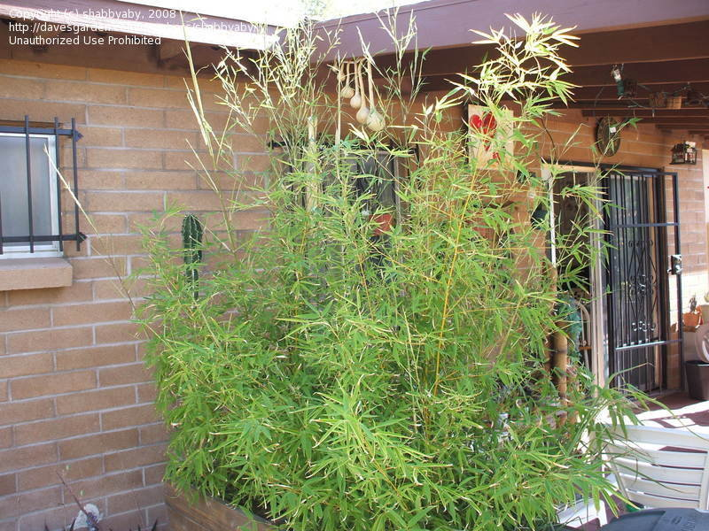 Multiplex Hedge Bamboo