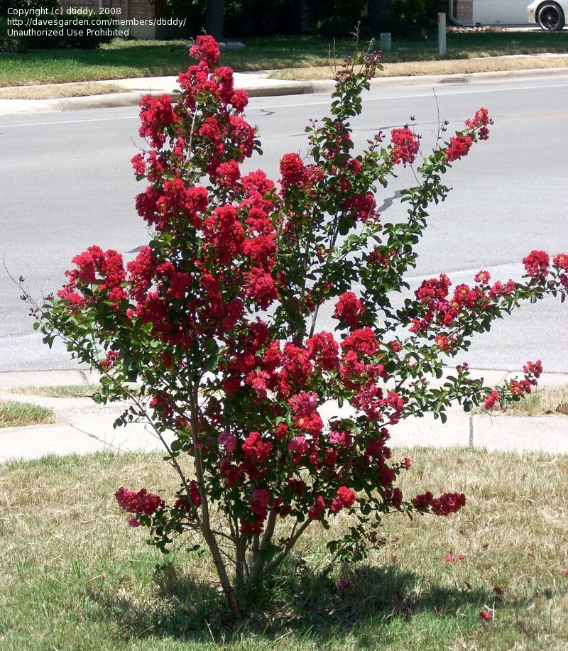 Full size picture of Crape Myrtle, Crepe Myrtle 'Red Rocket' (<i>Lagerstroemia indica</i>)