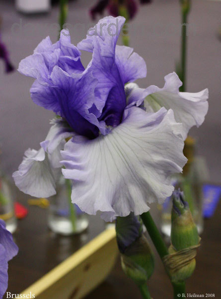 Baby Blue Bearded Iris Plant