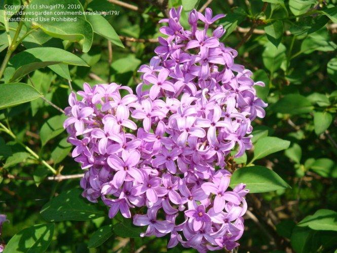 purple flowering bush identification  flower, Beautiful flower