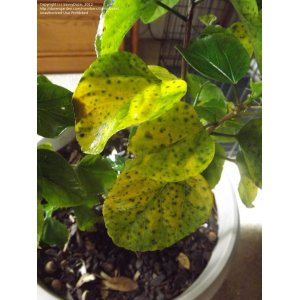 Outstanding Mahoe Variegated Sea Hibiscus Tropical Tree Live Plant