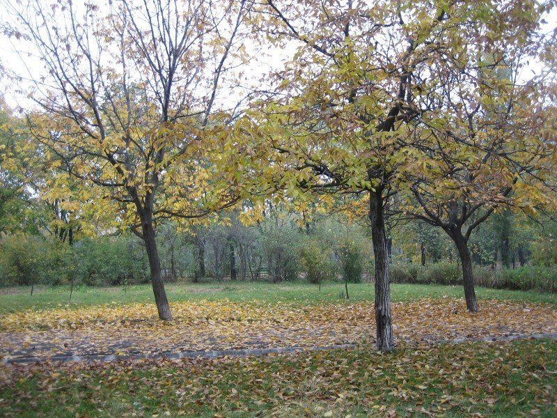 Walnut trees in the park during the fall