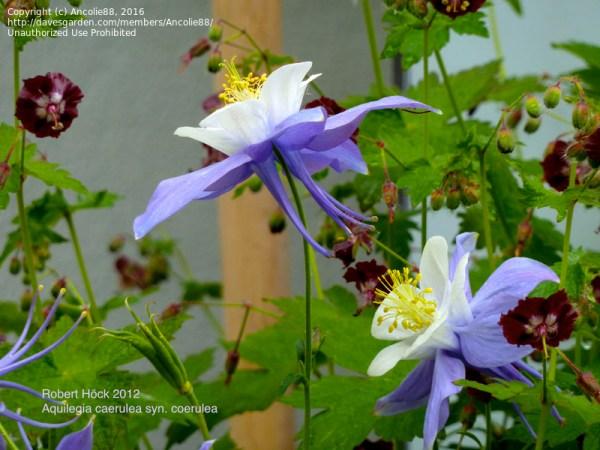 PlantFiles Pictures: Colorado Blue Columbine, Rocky ...