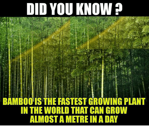 DID YOU KNOW BAMBOO IS THE FASTEST GROWING PLANT IN THE ...