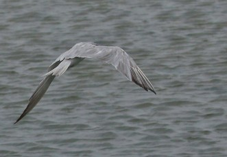 Tern over the waters...