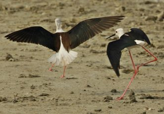 Squabbling Black Winged Stilts