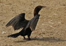 Sunbathing Little Cormorant