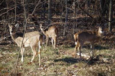 Woodbridge Va Deer In Leesylvania State Park