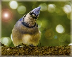 Blue MondaywwGalre blujay(1)